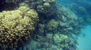 Récif coralien de semicolor de tache floue en Mer Rouge Images libres de droits
