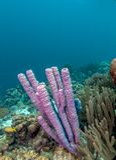 récif coralien des Caraïbes Image libre de droits
