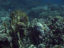 Récif coralien en Mer Rouge. Images stock