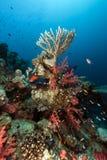 Récif coralien en Mer Rouge. Photos libres de droits