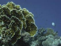 Récif coralien en Mer Rouge près de Dahab Image libre de droits