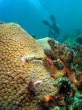 Récif coralien et plongeur Images libres de droits