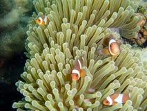 Récif coralien et poissons colorés Images libres de droits