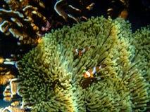Récif coralien et poissons colorés Photos libres de droits
