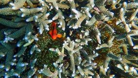 Récif coralien et poissons tropicaux sous-marins Images stock