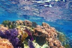 Récif coralien la Riviera maya de Caribbena colorée Images stock