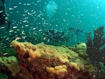 Récif coralien, poissons et plongeur Photo libre de droits