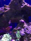 Récif coralien pourpre Image stock