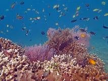 Récif coralien prospère vivant avec l'espèce marine Photographie stock libre de droits
