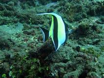 Récif coralien prospère vivant avec l'espèce marine Photos stock