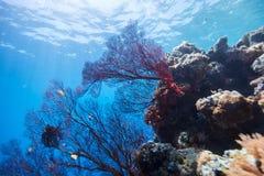 Récif coralien sous-marin Photo stock