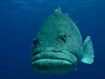 Récif de barrière grand de poissons géants de pomme de terre Images libres de droits