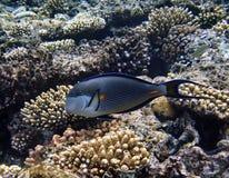 récif de corail de poissons tropical Image stock