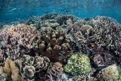 récif indonésien de corail Images libres de droits