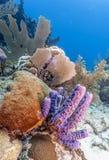 Récif reefCoral de corail outre de la côte de Raotan Honduras photos libres de droits