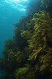 Récif rocheux raide couvert de varech Photos libres de droits