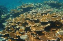 Récif sous-marin avec des coraux d'Elkhorn Images stock