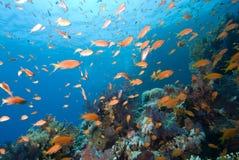 Récif tropical coloré, la Mer Rouge, Egypte Image libre de droits