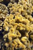 Récif tropical de coraux mous sous-marin Images stock