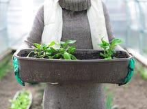 Récipient avec des jeunes plantes Photos libres de droits