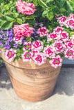 Récipient de terre cuite avec de belles fleurs roses d'été : roses et verveine Image stock
