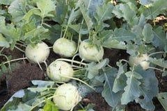 Récolte blanche tôt de chou-rave d'Organice dans le domaine photographie stock