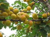 Récolte d'abricot dans Zdolbuniv Image stock