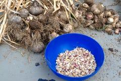 Récolte d'ail Photo stock