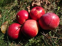 Récolte d'automne des pommes photo stock