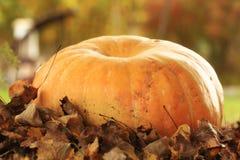 Récolte d'automne des potirons Halloween Images libres de droits