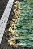 Récolte d'oignon Photographie stock libre de droits