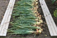 Récolte d'oignon Image stock