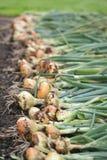 Récolte d'oignon Photo libre de droits