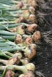 Récolte d'oignon Images stock