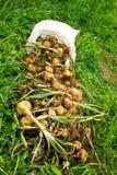 Récolte d'oignon le champ Image libre de droits