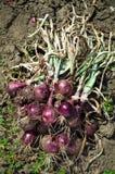 Récolte d'oignon rouge Photographie stock libre de droits