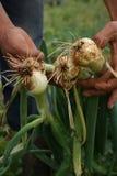 Récolte d'oignon vert Image libre de droits