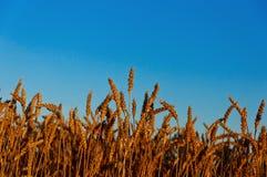 Récolte d'or sous le ciel nuageux bleu. images libres de droits