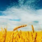 Récolte d'or sous le ciel nuageux bleu photos libres de droits