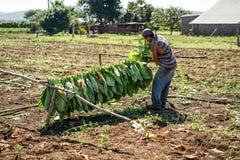 Récolte dans les domaines de tabac au Cuba Photo stock