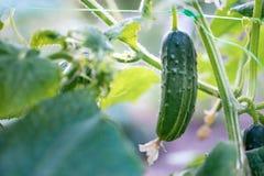 Récolte de concombre en serre chaude Les fruits de concombre se développent et sont Image stock