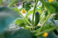 Récolte de concombre que les fruits de concombre se développent et sont prêts pour har image libre de droits