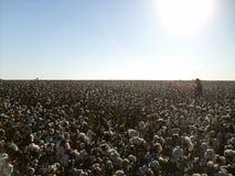 Récolte de coton Photos libres de droits