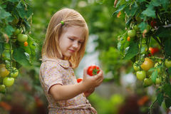 Récolte de fille et de tomate Photographie stock libre de droits