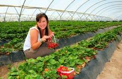 Récolte de fraise photographie stock libre de droits