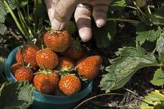 Récolte de fraise de jardin Images libres de droits