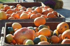 Récolte de grands potirons oranges, courges et sirops Photographie stock