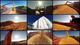 Récolte de maïs - collage de photo Photo stock