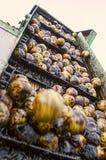 Récolte de noix noire Image libre de droits