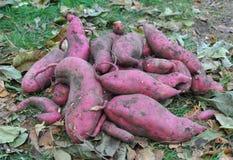 Récolte de patate douce avec Autumn Background Légumes organiques Image stock